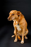 Perro marrón lindo en negro Imagen de archivo