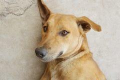 Perro marrón lindo en piso del cemento imagen de archivo libre de regalías