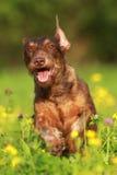 Perro marrón lindo que corre a través de campo de flor Imagen de archivo libre de regalías