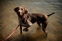 Perro marrón lindo que se coloca en el agua del lago y que mira para arriba imagenes de archivo