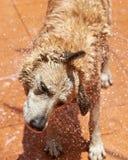 Perro marrón mojado de sequía fotos de archivo libres de regalías