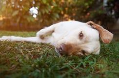 Perro marrón perezoso de Labrador Fotografía de archivo libre de regalías