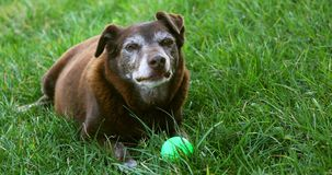 Perro marrón viejo con la bola verde que descansa - pelos grises alrededor del bozal metrajes