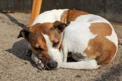 Perro marrón y blanco amontonado que duerme en el exterior de tierra fotos de archivo