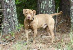 Perro masculino de Pitbull Terrier del americano, fotografía de la adopción del animal doméstico Foto de archivo libre de regalías