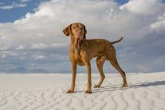 Perro masculino del vizsla al aire libre Fotos de archivo libres de regalías