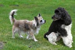 Perro mayor de la chihuahua y su amigo del caniche fotografía de archivo