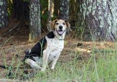 Perro mayor del beagle Imágenes de archivo libres de regalías