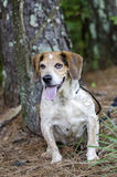 Perro mayor del beagle Foto de archivo libre de regalías