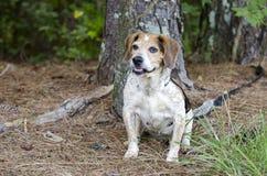 Perro mayor del beagle Imagen de archivo libre de regalías
