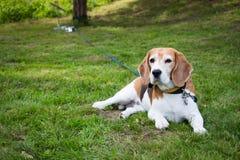 Perro mayor del beagle que pone en hierba Imagen de archivo