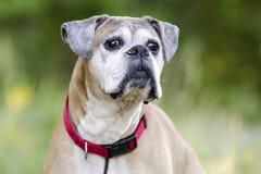 Perro mayor del boxeador del cervatillo, fotografía de la adopción del rescate del animal doméstico Imágenes de archivo libres de regalías