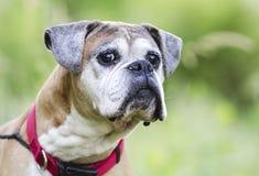 Perro mayor del boxeador del cervatillo, fotografía de la adopción del rescate del animal doméstico Foto de archivo libre de regalías