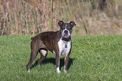 Perro mayor del boxeador que se coloca en un campo herboso Imagen de archivo