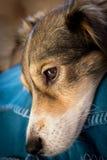 Perro melancólico Imagen de archivo libre de regalías