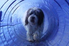 Perro melenudo de la agilidad en el túnel Imagen de archivo libre de regalías