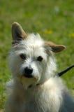 Perro: Mestizo Imagen de archivo libre de regalías