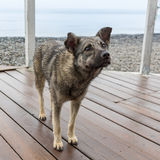 Perro mestizo hambriento con la piel mojada y soportes y estrella pinchados de los oídos Imagen de archivo