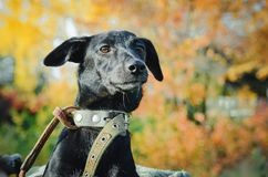 Perro mestizo negro, primer imágenes de archivo libres de regalías