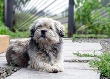 Perro mestizo que miente en la yarda en casa, agujereado y triste Foto de archivo