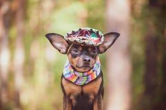 Perro mexicano en sombrero y vendaje en fondo natural imagen de archivo