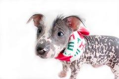 Perro mexicano sin pelo 5 Fotografía de archivo