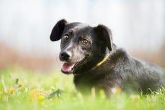 Perro mezclado adoptado feliz de la raza Fotos de archivo libres de regalías