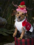 Perro mezclado adorable de la raza en sombrero del reno de la cesta que lleva Imagen de archivo