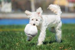 Perro mezclado adorable de la raza que juega con una bola al aire libre imagenes de archivo
