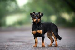Perro mezclado adorable de la raza que presenta al aire libre fotos de archivo
