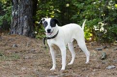 Perro mezclado blanco y negro de la raza fotos de archivo libres de regalías