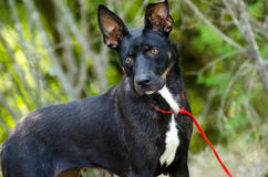 Perro mezclado Cattledog Terrier de la raza del pastor Fotos de archivo libres de regalías