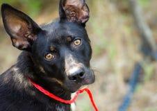 Perro mezclado Cattledog Terrier de la raza del pastor Imagen de archivo