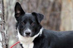Perro mezclado Collie Aussie blanco y negro de la raza de la frontera fotos de archivo