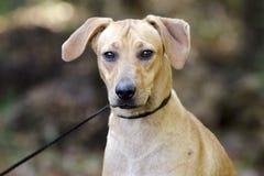 Perro mezclado cur de la raza del perro del moreno Imágenes de archivo libres de regalías