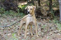 Perro mezclado cur de la raza del perro del moreno Imagen de archivo