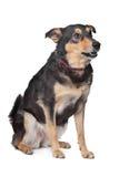 Perro mezclado de la casta foto de archivo