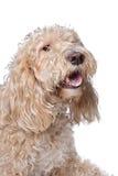 Perro mezclado de la casta Foto de archivo libre de regalías