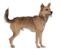 Perro mezclado de la casta, 3 años, colocándose imagenes de archivo