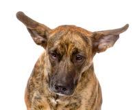 Perro mezclado de la raza con los oídos largos del aleteo Aislado en blanco foto de archivo libre de regalías