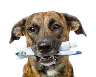Perro mezclado de la raza con un cepillo de dientes y una crema dental Aislado fotos de archivo libres de regalías