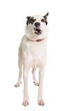 Perro mezclado de la raza en blanco imagen de archivo libre de regalías