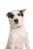 Perro mezclado de la raza en blanco imágenes de archivo libres de regalías