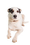 Perro mezclado de la raza en blanco imagen de archivo