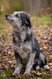 Perro mezclado de la raza en el bosque del otoño Fotografía de archivo libre de regalías