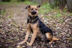 Perro mezclado de la raza en el bosque del otoño Imágenes de archivo libres de regalías