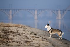 Perro mezclado de la raza en una playa arenosa del río Imagen de archivo