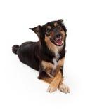 Perro mezclado de la raza que pone las piernas cruzadas Fotos de archivo libres de regalías