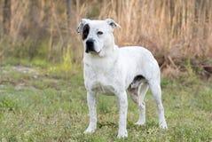 Perro mezclado del perro callejero de la raza del dogo americano feliz imagenes de archivo