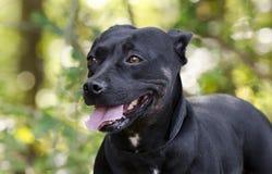 Perro mezclado dogo corto de la raza del perro basset Fotos de archivo